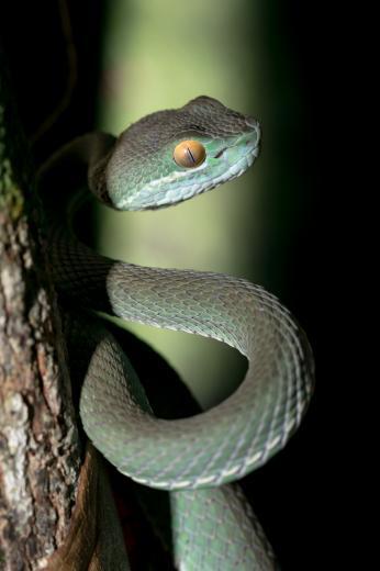 Trimeresurus albolabris - Koh Rong - Cambodge